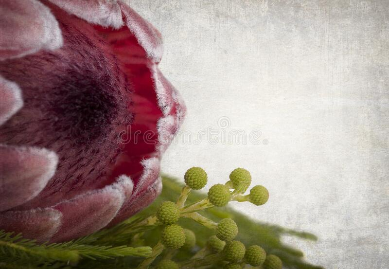 Protea closeup with vintage texture royalty free stock photo