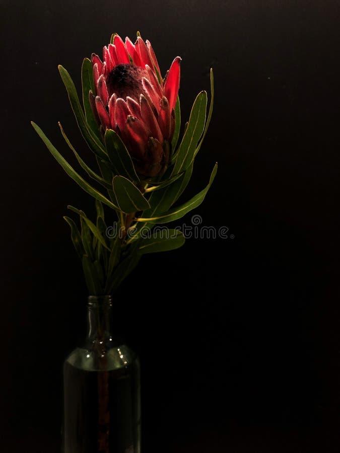 Protea royalty free stock photos