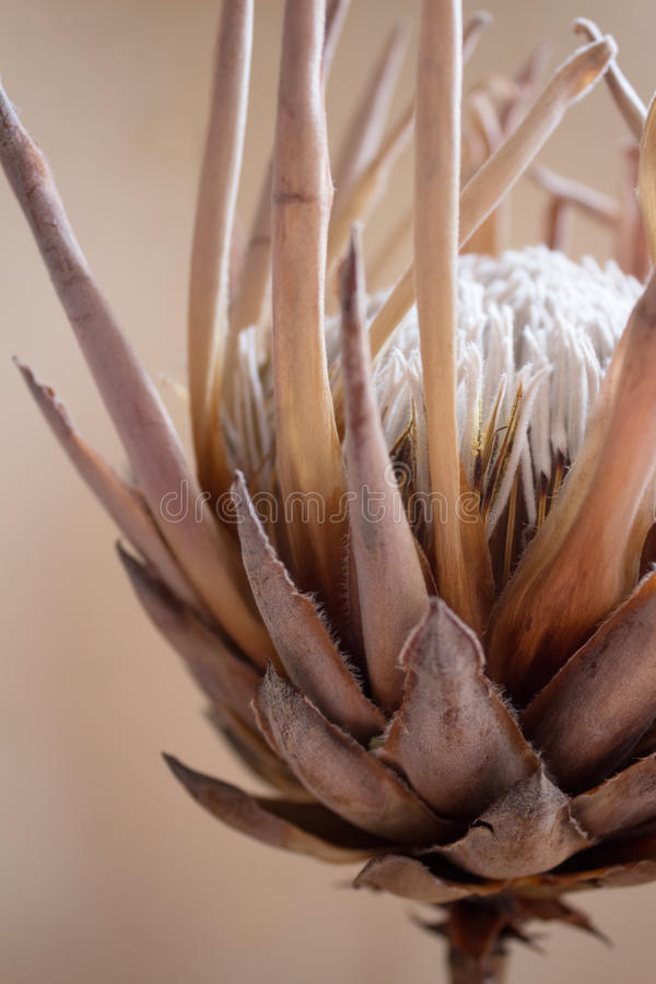 Protea flower royalty free stock photography