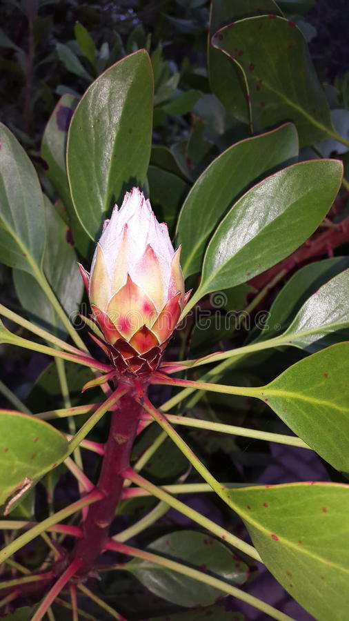 Protea royalty free stock photos