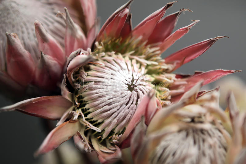 Protea flowers stock photography