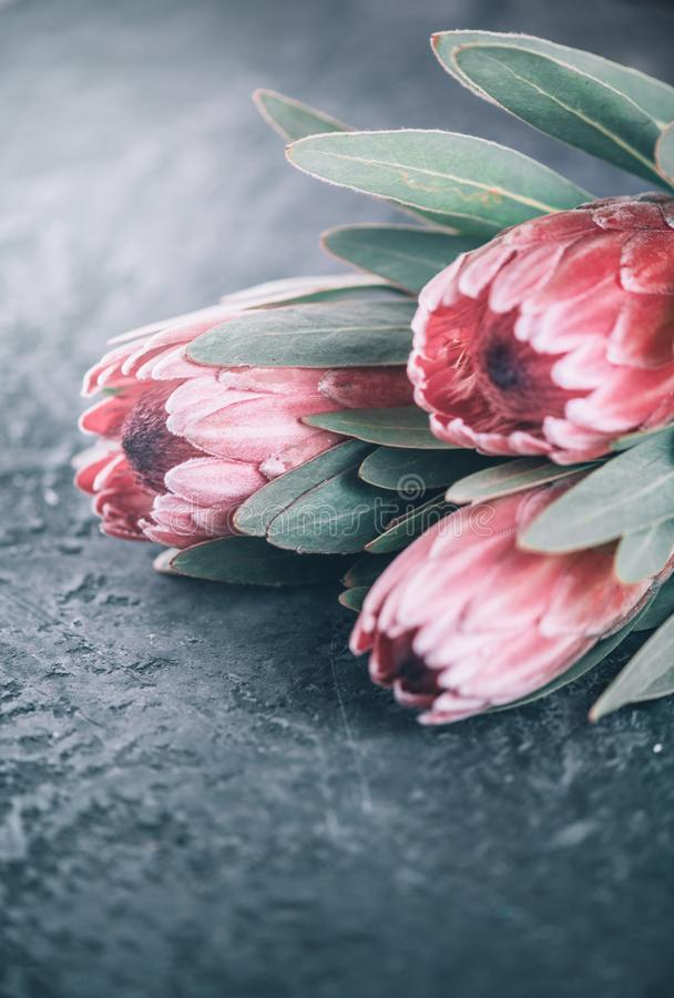 Protea flowers bunch. Blooming Pink King Protea Plant over dark background. Extreme closeup. Holiday gift, bouquet, buds. Beautiful fashion flower macro shot royalty free stock photo