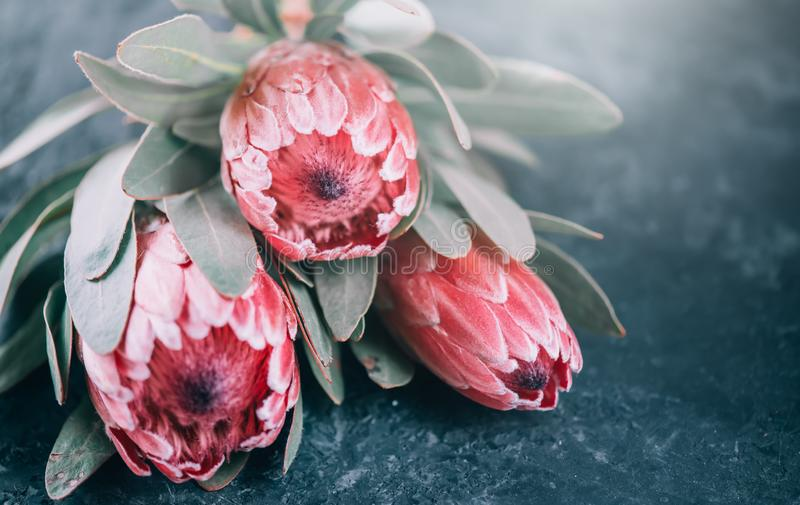 Protea flowers bunch. Blooming Pink King Protea Plant over dark background. Extreme closeup. Holiday gift, bouquet, buds. Beautiful fashion flower macro shot stock image