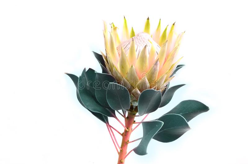 Protea flowers bunch. Blooming Yellow King Protea Plant over White background. Extreme closeup. Holiday gift, bouquet, buds. One B stock photography