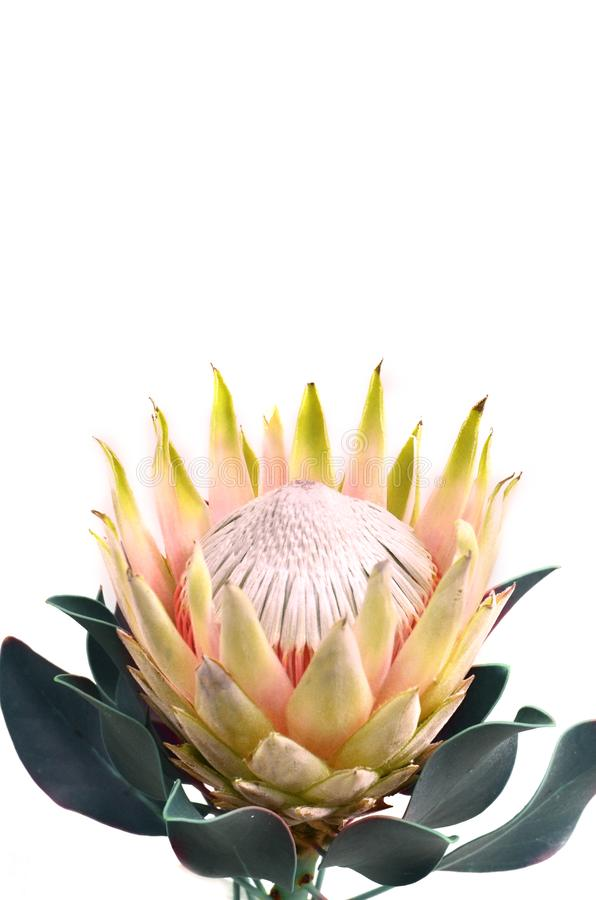Protea flowers bunch. Blooming Yellow King Protea Plant over White background. Extreme closeup. Holiday gift, bouquet, buds. One B. Eautiful fashion flower macro stock image