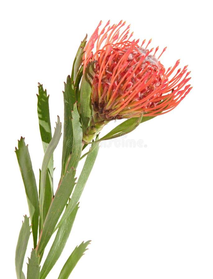Protea getrennt auf Weiß stockfotografie
