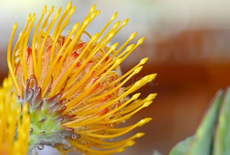 Protea kwiat obraz royalty free