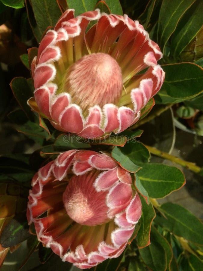 Protea kwiat zdjęcie royalty free