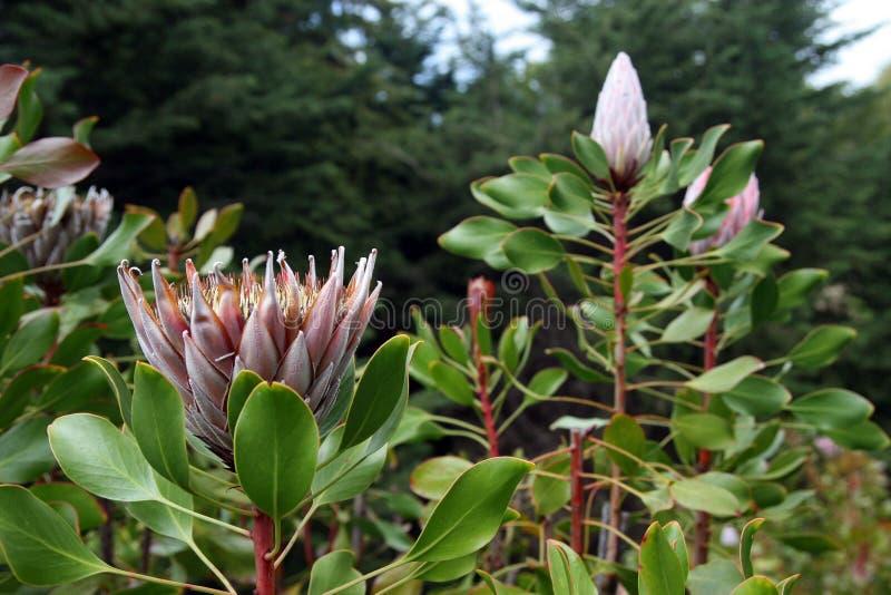 Protea kwiat, Maui wyspa obraz royalty free