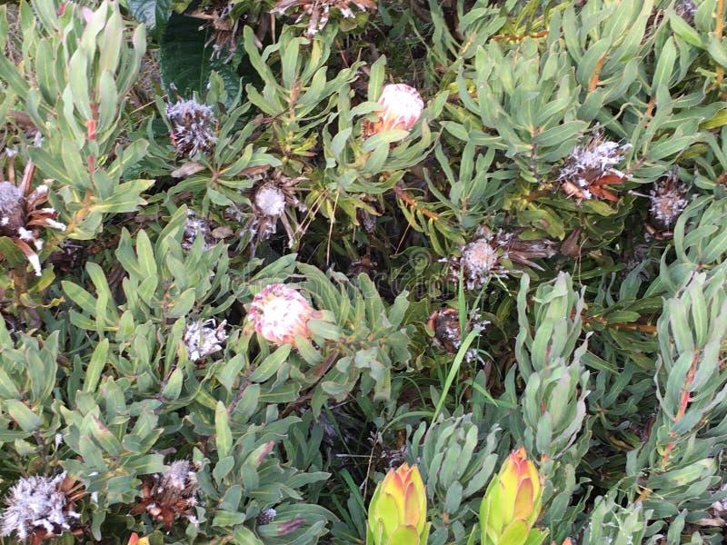 Protea Magnifica, véritable un protea de reine, 1 photo stock