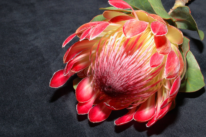 Protea op zwarte royalty-vrije stock afbeelding