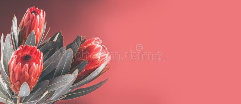 Protea pączkuje zbliżenie Wiązka czerwoni królewiątka Protea kwiaty Walentynki ` s dnia bukiet obrazy royalty free