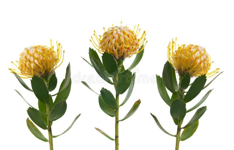 protea pincushion стоковые фотографии rf