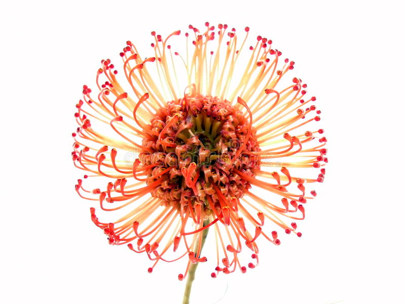 Protea Pincushion стоковые фото