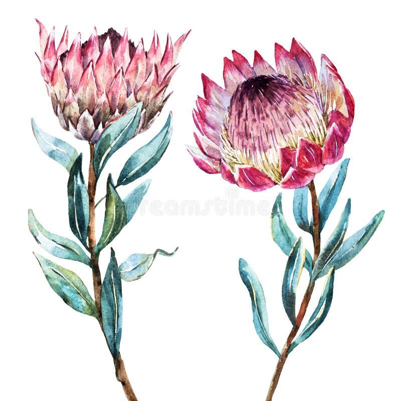 Protea tropical de la flor de la acuarela stock de ilustración