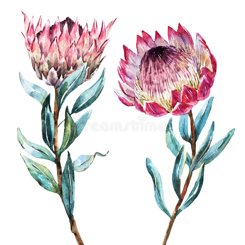 Protea van de waterverf tropische bloem stock illustratie