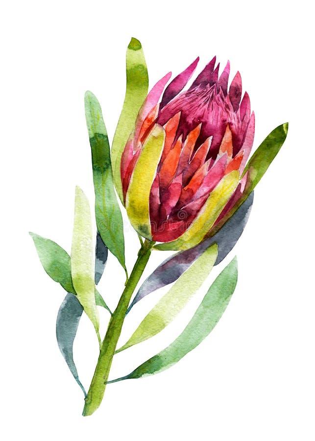 protea Vattenfärgillustration av blomman för objektbana för bakgrund clipping isolerad white Handdrawn bild vektor illustrationer