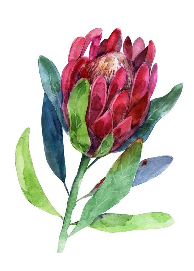 protea Vattenfärgillustration av blomman för objektbana för bakgrund clipping isolerad white Handdrawn bild stock illustrationer