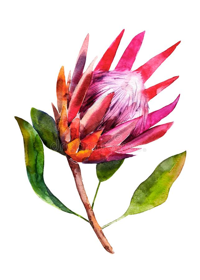 Protea. Watercolor illustration of flower. Isolated object on white background. Handdrawn picture. royalty free illustration