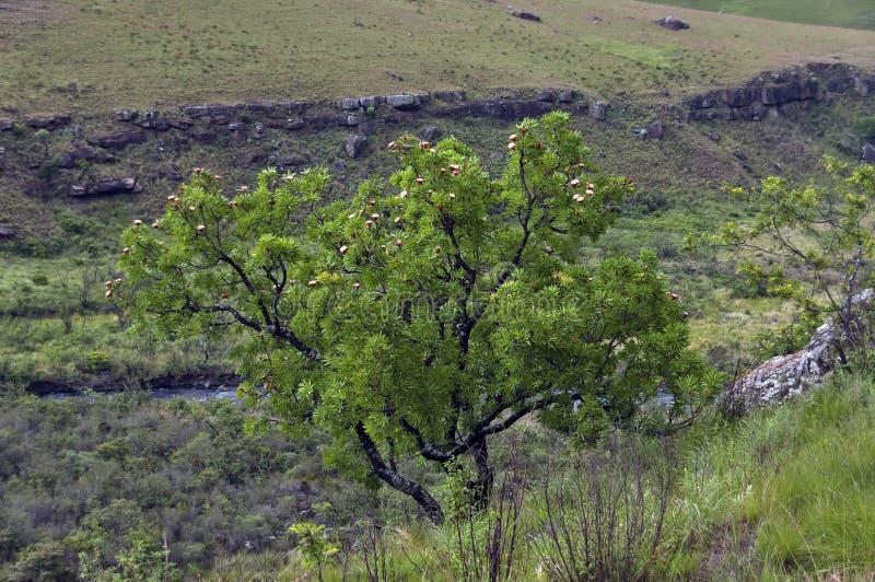 Proteabaum in Giants-Schloss stockfoto