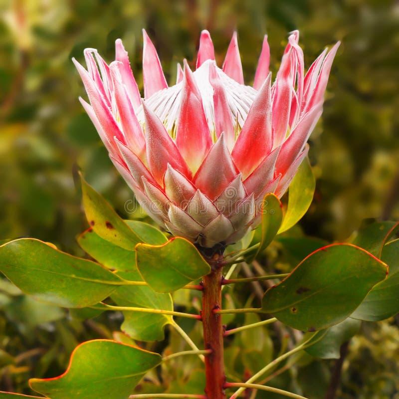 Proteablomma, Protea Cynaroides, konung Proteas royaltyfri fotografi
