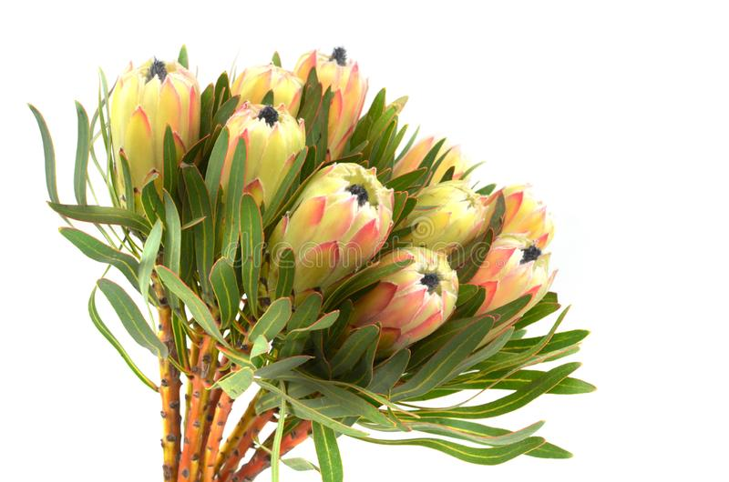 Proteablommor samlar ihop Blomma den gröna konungen Protea Plant över vit bakgrund Extrem closeup Semestra gåvan, buketten, knopp royaltyfri foto