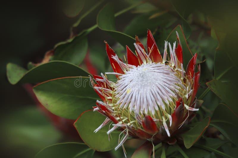 Proteaceae de Sugarbush do Protea fotografia de stock