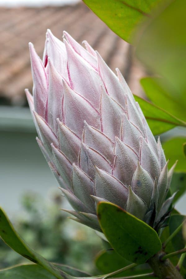 Proteacynaroides kallade också konungproteaen i blom med den fantastiska jätte- blomman arkivfoto