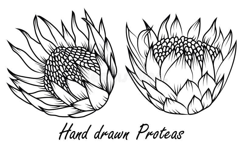 Proteaen nationell blomma av Sydafrika, skissar stil, vektor stock illustrationer