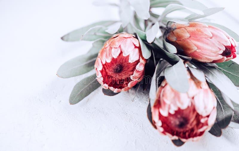 Proteaknoppcloseup Grupp av rosa blommor för konung Protea över grå bakgrund valentin för dag s arkivfoton