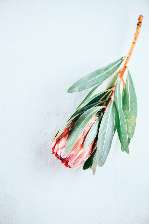 Proteaknoppcloseup Rosa blomma för konung som Protea isoleras på grå bakgrund Härligt skott för modeblommamakro valentin för dag  royaltyfri illustrationer