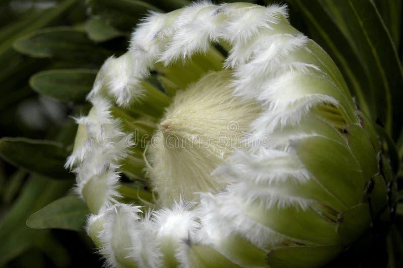 Proteas Brodaci lub opierzony protea w pełnym kwiacie zdjęcia stock