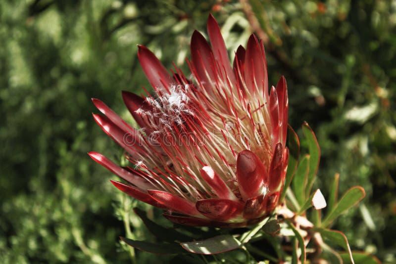Proteas en automne photos libres de droits