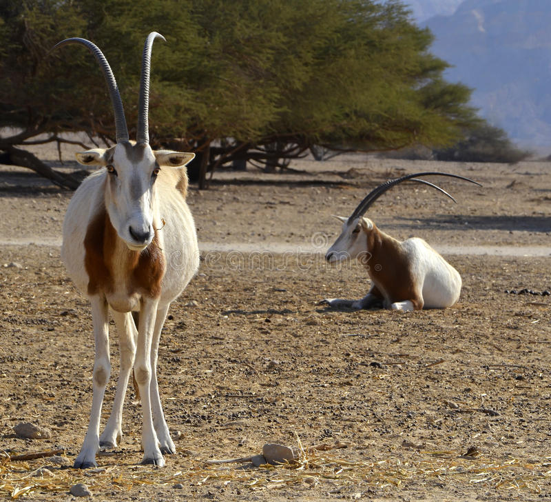 Protected animals in Hai-Bar reservation, Eilat. Hai-Bar Yotvata is a famous in Israel nature reserve, it is located 25 km from Eilat, Israel stock photos