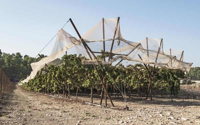 Protected Grape Vines in a Vineyard at Lachish Israel stock photography