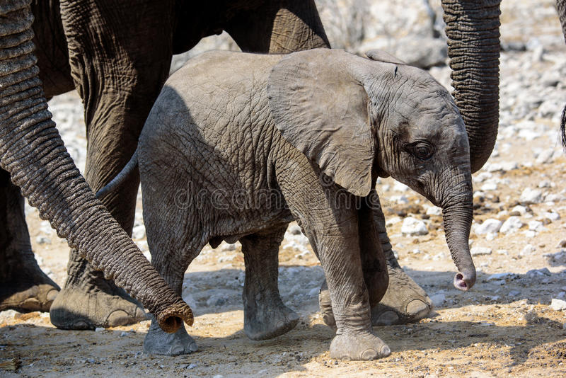Protected by the herd. Elephant calf protected by the herd stock photos