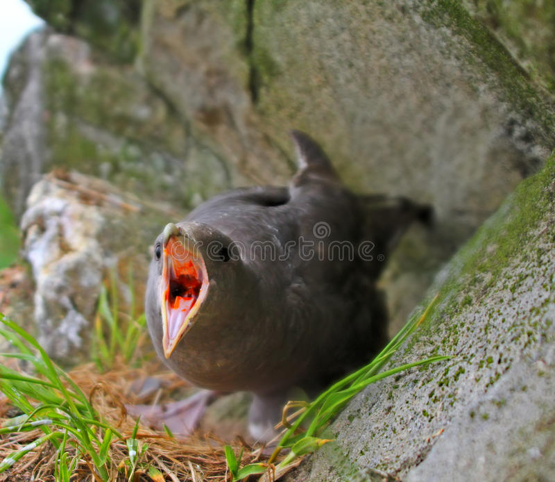 Protecting nest and self-defense. Fulmar spits smelly caustic orange blubber in eyes of predator. Protecting offspring and self-defense. Fulmar (Fulmarus stock photo