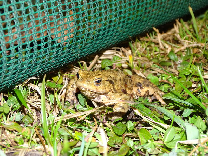 Protection of amphibians. In the photo is safety fence for amphibians with male of common toads royalty free stock images