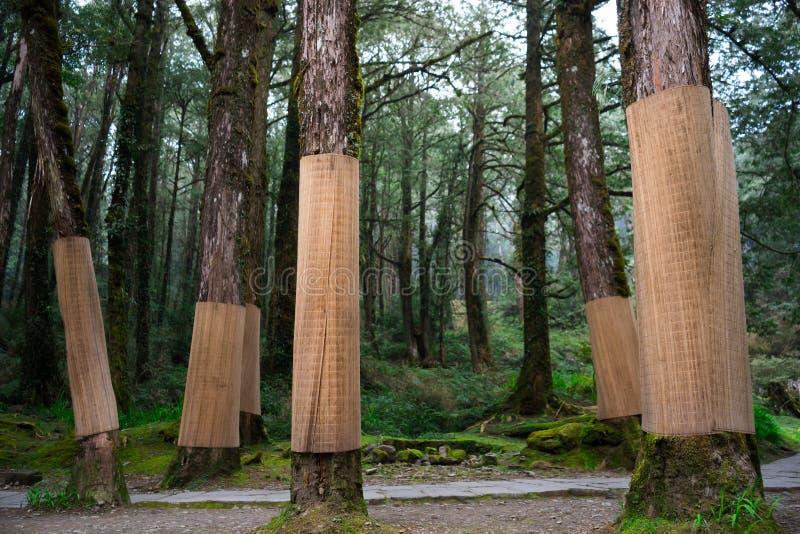 protection de tronc d 39 arbre avec le tapis en bambou photo. Black Bedroom Furniture Sets. Home Design Ideas