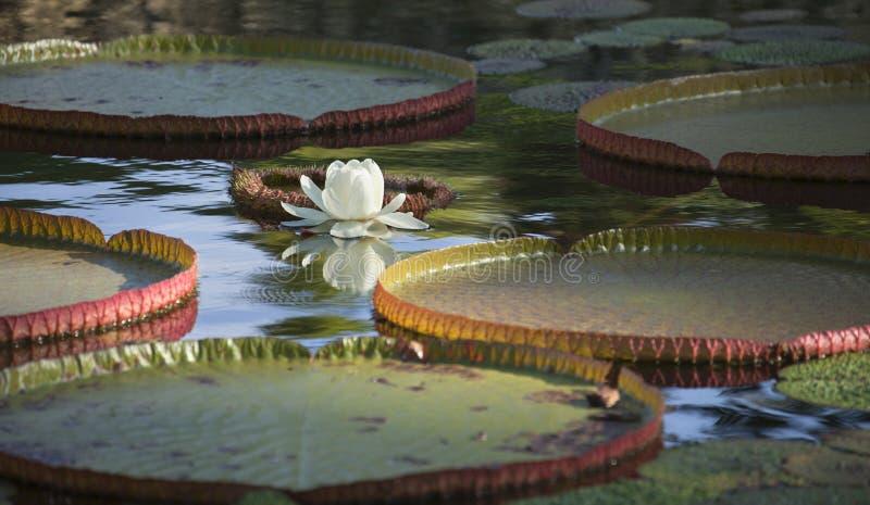 Protections de lis et fleur blanche sur un étang photographie stock