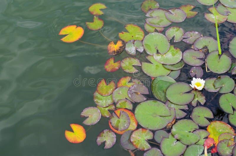 Protections de lis sur l'eau image stock