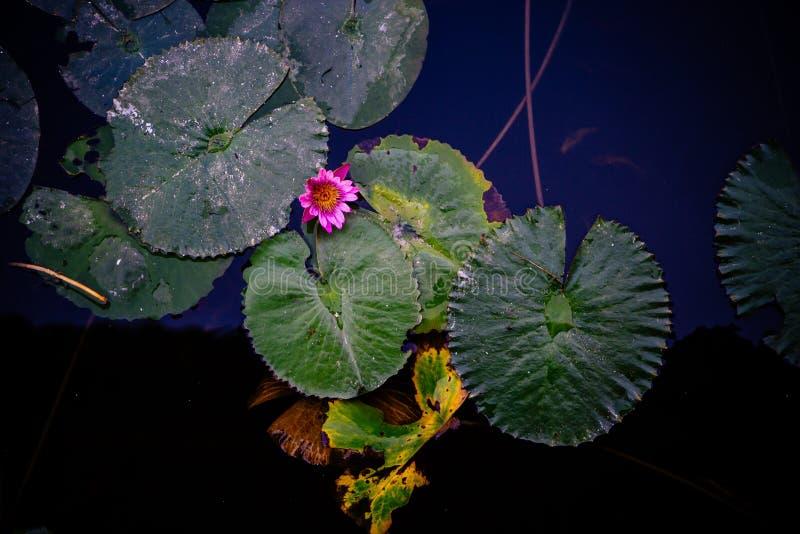 Protections de lis vertes avec une fleur de lotus rose simple image libre de droits