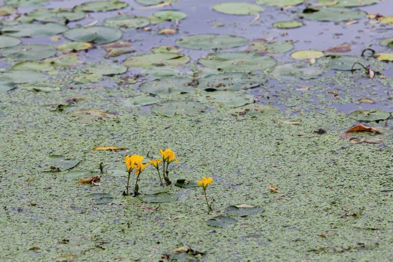 Download Protections De Nénuphar Sur Le Lac Photo stock - Image du centrales, serein: 45367062