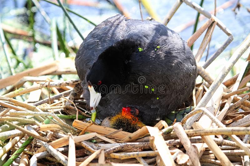 A protective American Coot and newly hatched chick.  stock images