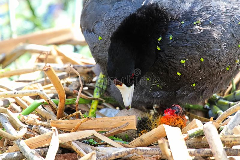 A protective American Coot and newly hatched chick.  stock image