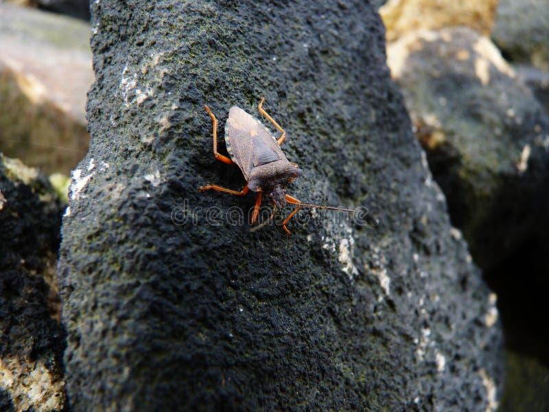 Protegga l'insetto che si mescola nelle gambe scure di un'arancia della roccia immagini stock libere da diritti
