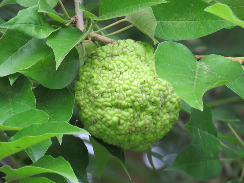 Protegga la mela o l'arancia di Osage sul primo piano del ramo di albero immagine stock