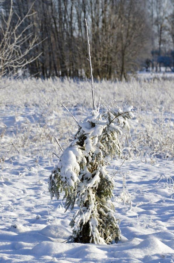 Protegido con el abeto ramifica el manzano joven en invierno fotos de archivo libres de regalías