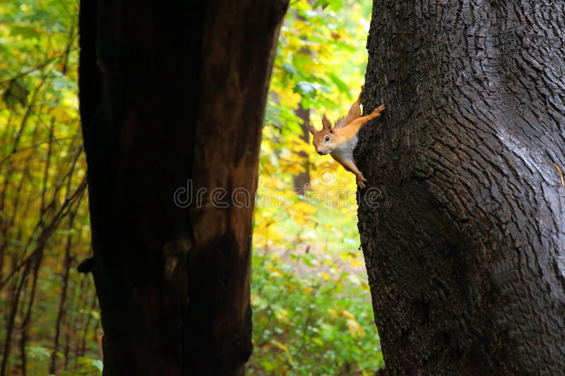 Protein on trunk of pine. royalty free stock photos
