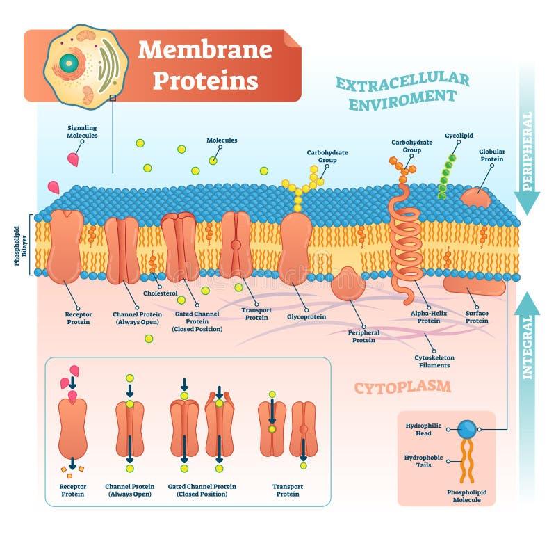 Proteine della membrana identificate illustrazione di vettore Schema dettagliato della struttura illustrazione di stock